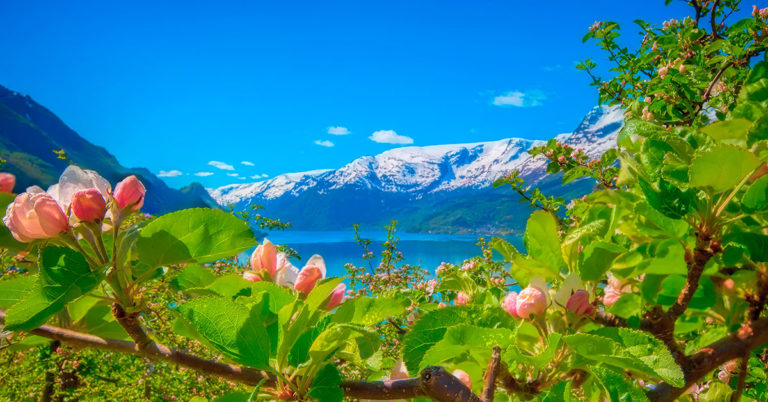 Appleflowers in Hardanger